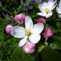 Цветущая яблоня :: Елена Грошева