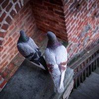 Голуби. Просто голуби) :: Анастасия Кисель