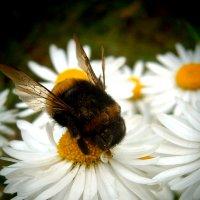 Пчёлка :: Марья Шубина