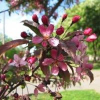 Яблоня в цвету :: veera (veerra)