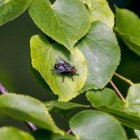 Села муха на листочек. :: Анатолий. Chesnavik.