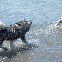 Собакены купаются :: Сергей Казаченко