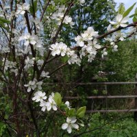 Сливовое варенье на стадии цветения :: Валерий Чепкасов