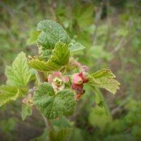 Смородина весной :: Настя Перфильева