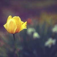 Тюльпан. :: Юрий