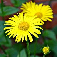 Желтые цветы символ солнца и радости. :: Михаил Столяров