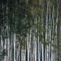 березняк :: Андрей Хлопин