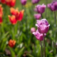 Тюльпаны :: Александр Громов