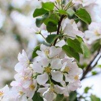 Цветение яблони :: Алексей Корнеев