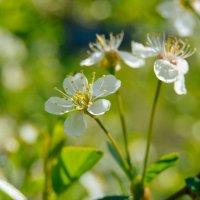 Белые цветочки :: Света Кондрашова