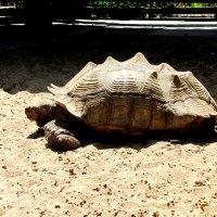 Очень большая черепаха!!! :: Герович Лилия