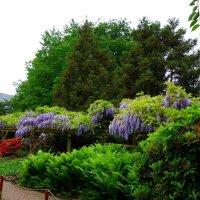 В сиреневом цвете. Глицинии в японском саду :: Nina Yudicheva