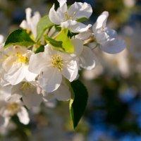 цветущая яблоня :: Екатерина Бильдер