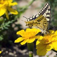 Бабочки :: Александр Грищенко