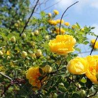 Роза желтая, роза чайная, аромата необычайного. :: Валентина ツ ღ✿ღ