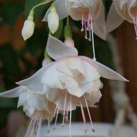 Фуксии снова радуют своим цветением :: nika555nika Ирина