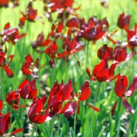 Тюльпаны. :: Олег Чернышев