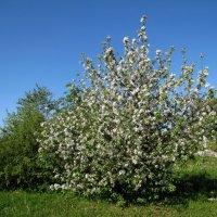 Майское цветение :: veera (veerra)