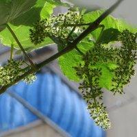 Будет виноград :: Наталья Джикидзе (Берёзина)