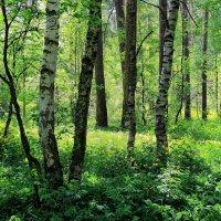 Поют лесные соловьи... :: Лесо-Вед (Баранов)