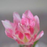 Тюльпан похожий на лотос :: Алексей Головин