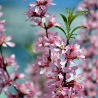 Весеннее цветение :: Светлана Шарафутдинова