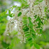 Белой акации гроздья душистые :: Swetlana V