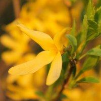 *Куст с желтыми цветами* :: Ольга Евдокимова