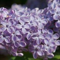 Сирень цветёт :: Наталия Григорьева