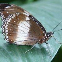 """Бабочка""""Голубая луна"""" :: Антонина"""