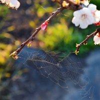 Паутина на цветущем абрикосе :: Полина Потапова