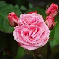 Майские розы после дождя... :: Тамара (st.tamara)
