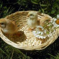 Цыплята :: Ольга