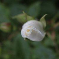 Белая роза :: Veronika Gug