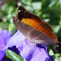 Австралийский Leafwing - Doleschallia bisaltide  Подсемейство NYMPHALINAE :: Антонина