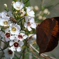 Бабочка Doleschallia bisaltide, широко известная как Осенний лист :: Антонина