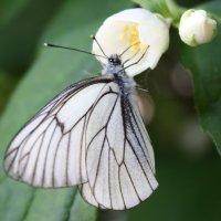 Боярышница питается нектаром цветка чубушника,который часто путают с жасмином :: Антонина
