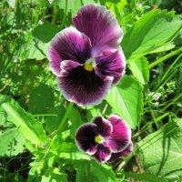 Два фиолетовых и белый :: Дмитрий Никитин