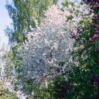 Яблони в цвету...какое чудо... :: ирина