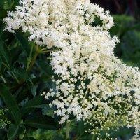 Бузина цветёт... :: Olga Grushko