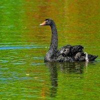 черный лебедь :: Игорь Голубев