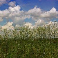 Трава полевая :: Леонид Сергиенко