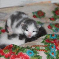 Коте :: Сергей Кондратович