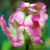Попугайный тюльпан :: Светлана Двуреченская