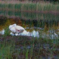 Одинокий лебедь... :: Mariya laimite