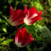 Тюльпаны :: Юрий