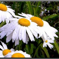 ромашки и  дождь . :: Ivana