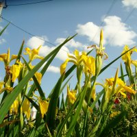 цветёт болотце возле магазина... :: Галина Филоросс