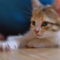 Портрет котёнка. :: владимир