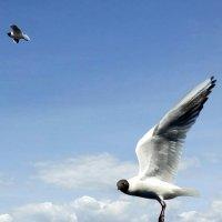 Чайки над Волгой...... :: Сергей Рыжков